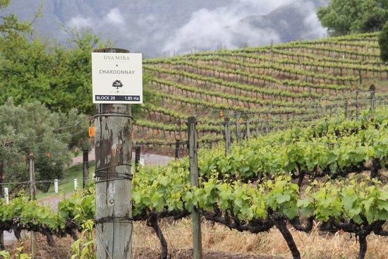 Uva Mira Chardonnay vineyards